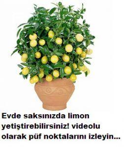 Evde limon yetiştirme videolu