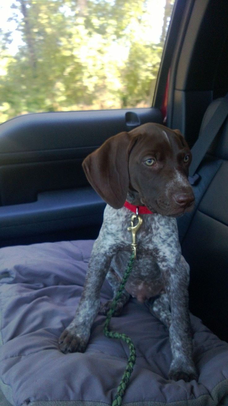 German Shorthaired Pointer Puppy. Boomer riding in the truck. :)