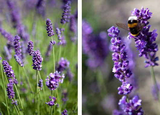 Lavendel Hidcote dufter deilig gjennom hele sommeren.