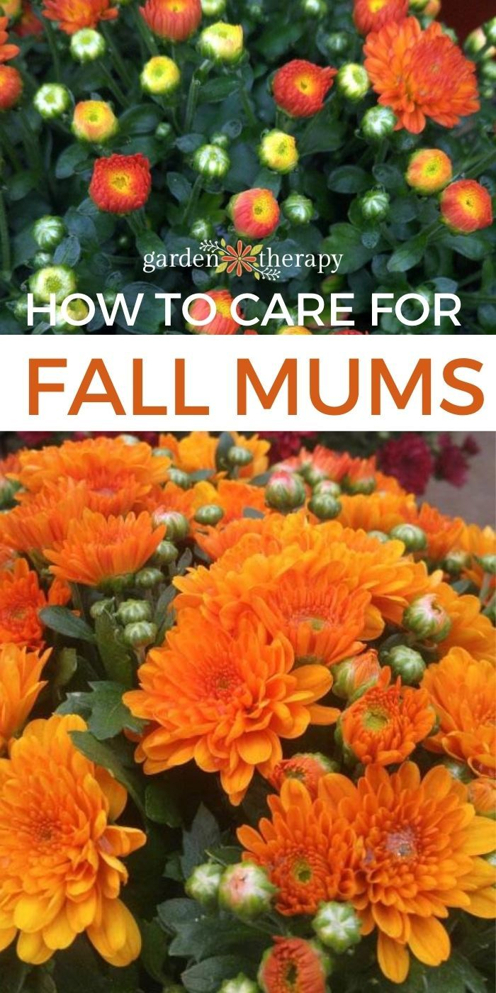How To Keep Mums Alive