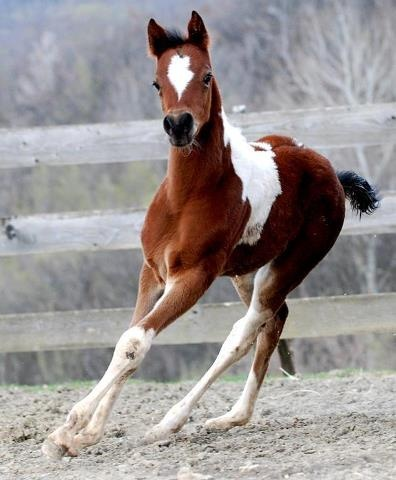 Oh, how I love those paint horses! This looks like my little Lyric girl :)