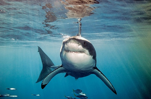 Shark Cage Diving. Should you require further information or wish to book accommodation in and around the Durban, Kwazulu Natal area, Quote & Book: http://www.south-african-hotels.com/