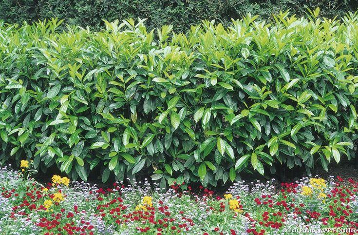 1000 id es sur le th me arbuste pour haie sur pinterest - Arbuste pour petit jardin ...