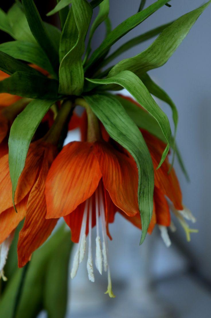 #fritillaria imperialis #orange #cold porcelain