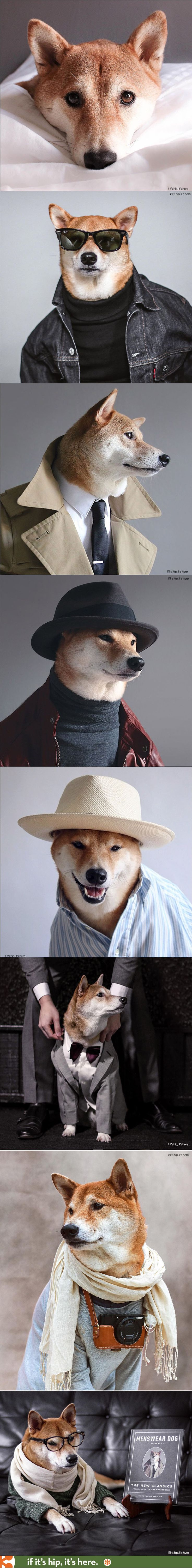 Meet the Shiba Inu who dresses better than you do at http://www.ifitshipitshere.com/bodhi-the-menswear-dog/