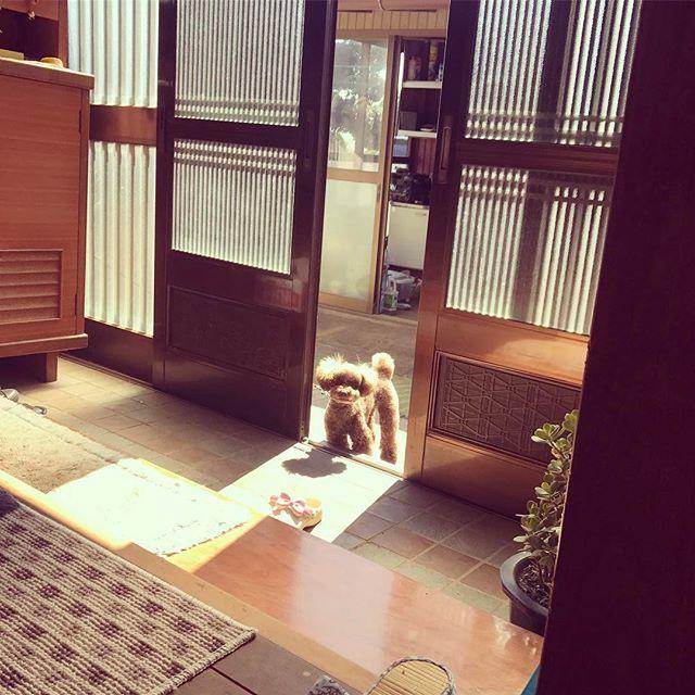 * * * * いつかの夕方🌇 洗濯物畳んでたら、、 玄関からひょっこり(*´꒳`*) (お散歩まだですか〜(¬_¬)) って声が聞こえて来そう🙄笑 * * * #pet #petlove #lovepets #lovedogs #dog #toypoodle #toypoodlebrown #love #cute #愛犬 #犬 #トイプードル #トイプードル部 #トイプー #最高 #犬ばか部 #可愛い #チラ見 #いや #ガン見 #😳 #🐶 #💓