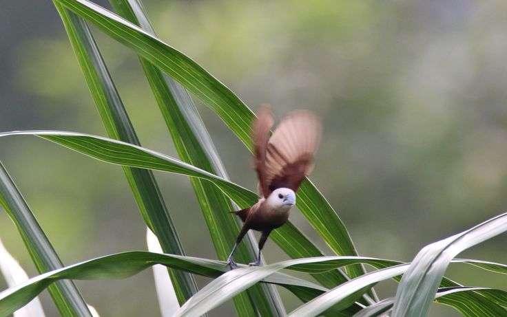 white-headed munia