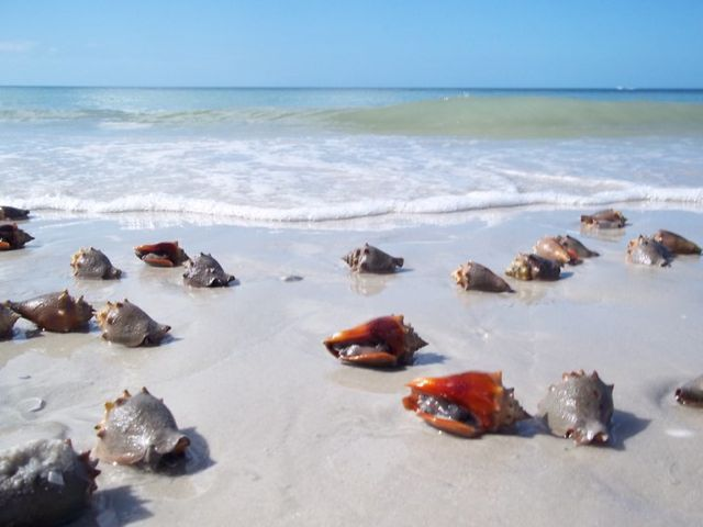 Up The Road From Naples Bonita Beach Yep Conches Hen Florida Pinterest Beaches And
