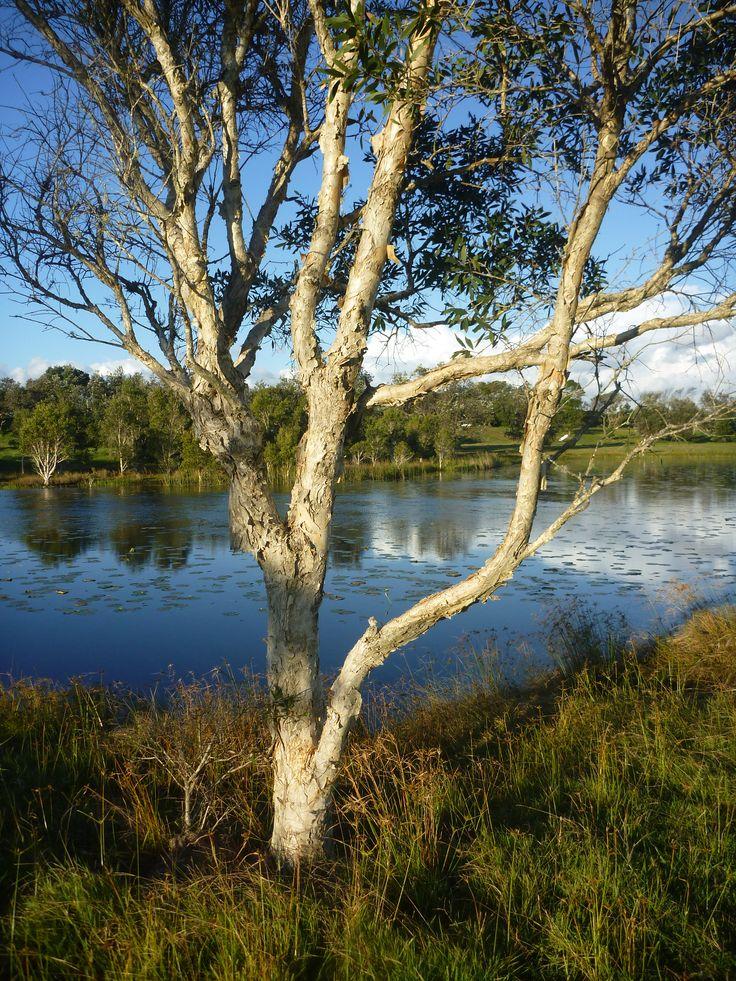 Niaouli (Melaleuca quinquenervia CT Niaouli) near Byron Bay.