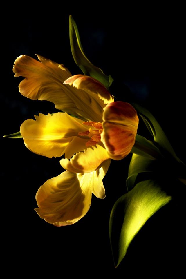 tulip(?)