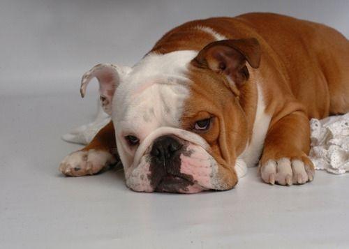 Ras: Engelse Bulldog     Rasgroep: Pinschers, Schnauzers, Molossers en Zwitserse Sennenhonden