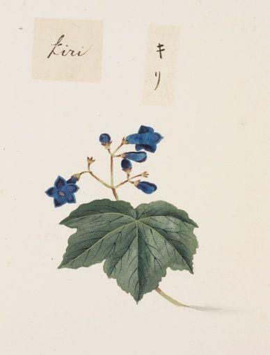 "Empress Tree, Princess Tree, Foxglove Tree. O-Jewel Blog Kawahara Keiga picture book Vol.2 ""botanical art"""