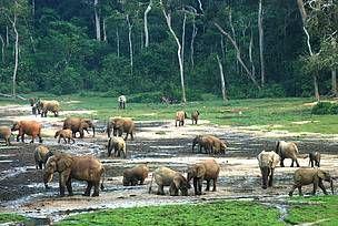 Forest elephants in Dzanga Bai in Central African Republic.   © @Sinziana-Maria Demian/WWF