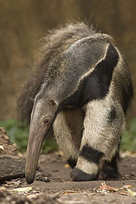I love anteaters. They're my favorite animal. The day I posted it I'm going to the zoo to see one.