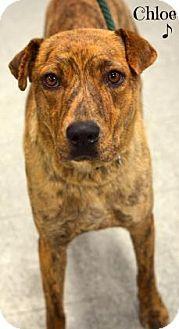 Niagara Falls, NY - Plott Hound Mix. Meet Chloe, a dog for adoption. http://www.adoptapet.com/pet/17099304-niagara-falls-new-york-plott-hound-mix