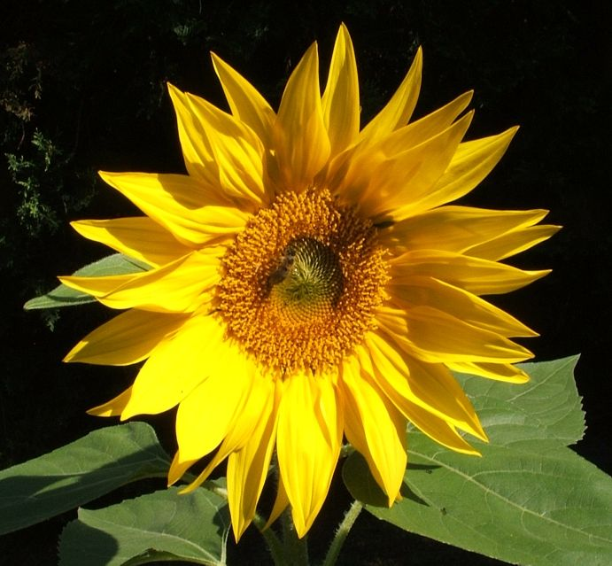 This sunflower seed must have been dropped in the garden bed by birds........I didnt plant it, I've been watching it for 6 weeks and can't  believe this beautiful flower has  appeared.