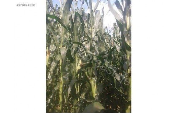 satilik 60 70 ton mısır silaji  tonu 210 tl