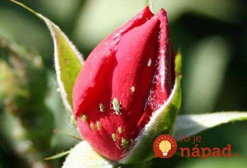 Vošky na ružiach: Tento recept som našla v starom zápisníku po babke - vošky zmizli a ruže nahodili nové puky!