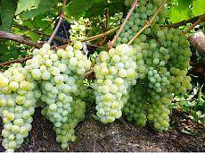 (+1) тема - Как вырастить виноград у себя на даче? | 6 соток