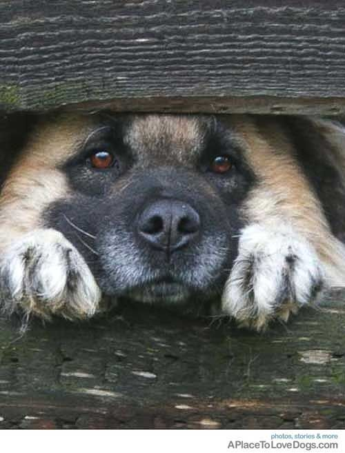 """This is my alone space!"" #dogs #pets #GermanShepherds Facebook.com/sodoggonefunny"
