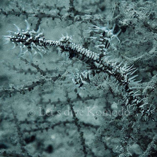 Ornate ghost pipefish #indonesia #flores #komodo #labuanbajo #ghost #ornate #pipefish #macro #camouflage #creature #fish #scuba #livetoscuba #scubadiving #no #colors #underwaterphotography #olympus #travel #holiday #backpacker #explore #ocean #macro_captures #lovemyjob #lovemylife #instapic #instadive #instadaily
