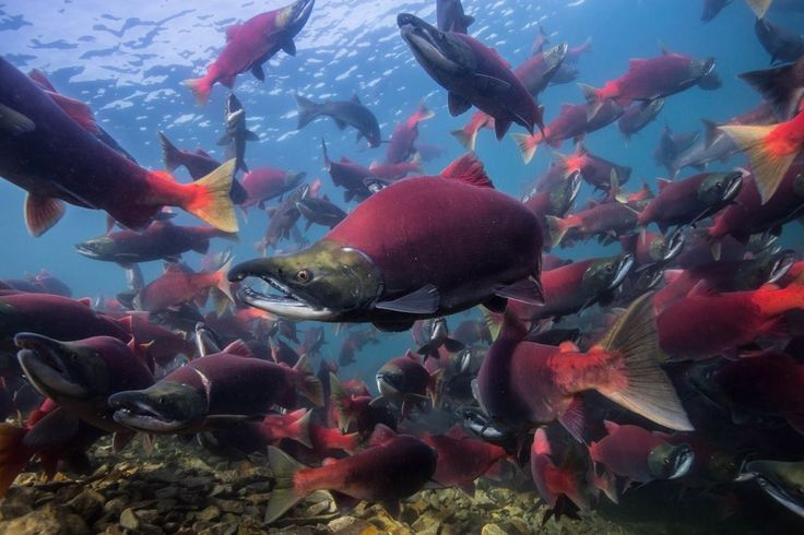 alaskan salmon run | Scientist captures amazing photos of massive Alaskan sockeye salmon ...