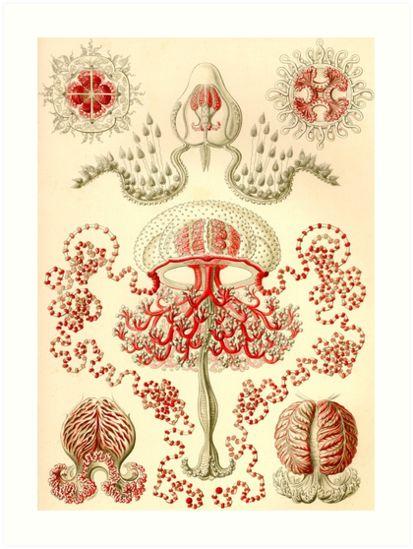 Anthomedusae - Ernst Haeckel by billythekidtees