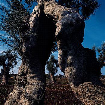 Segreti scolpiti* Ulivi di Puglia *foto di Luca De Napoli