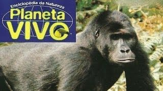 gorilas da montanha - YouTube