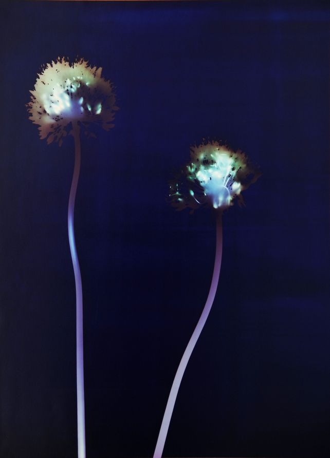 """Art Print, Allium 1, Photogram, 12x16"""" Limited Edition Print. I created this photogram in the colour darkroom without the use of a camera. I lay allium flowers on light sensitive paper and shone light on them. It's a limited edition print from a print run of 20. © Linda Jones"""
