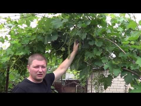 Повышение урожайности виноградного куста. Личный опыт. Виноград 2015.