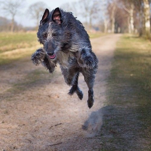 This is so amazing; Scottish deerhound in flight! #Deerhound