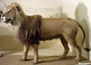 Leão do Cabo (1865) – África do Sul