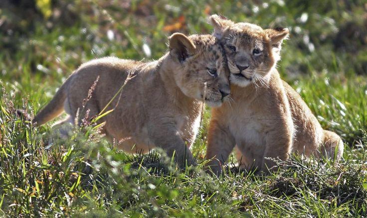 23.09 Deux lionceaux nés le mois dernier ont fait leur première sortie au zoo de Columbus, dans l'Ohio, aux Etats-Unis.Photo: AP/Fred Squillante/The Columbus Dispatch