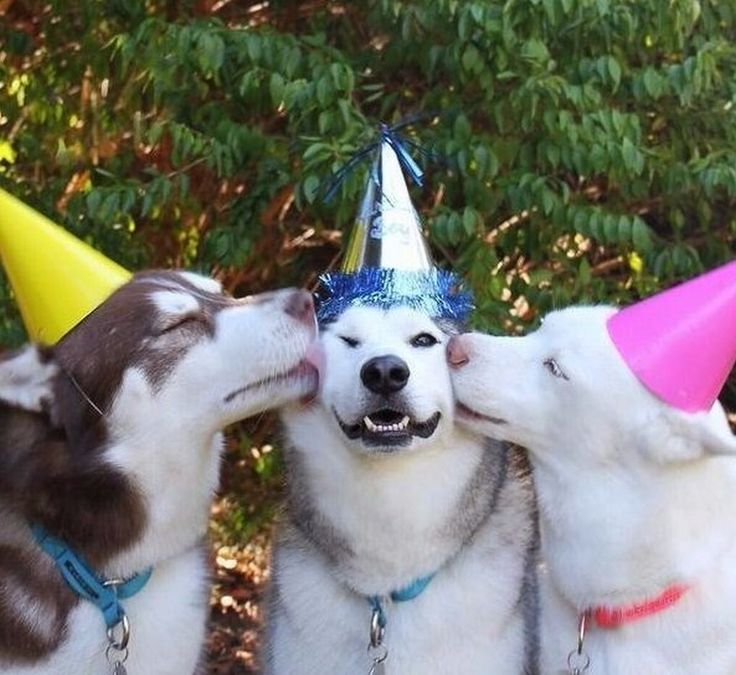 We just LOVE this picture of the birthday boy and his friends! #dogs #siberianhusky #huskies #birthday