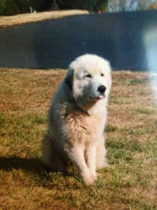 From craigslist- Great pyrenees male named, Zeus 70-80 lbs ...
