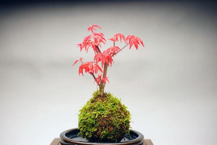 出猩々紅葉(でしょうじょうもみじ)の苔玉。新芽は深紅、夏は青葉、秋は紅葉と楽しめます。ベランダや庭に直置きせず、柵などの上に置くと風通しがよくなり、地熱の影響を受けにくくなるそうです。