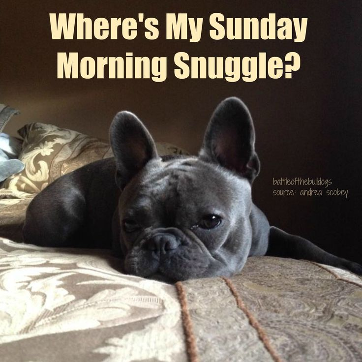 Sunday Morning Funny Meme : Best images about frenchie memes on pinterest