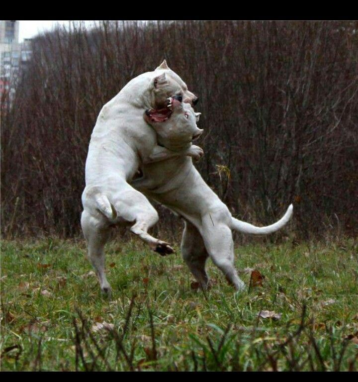 #Dogo #Argentino playing #dogs