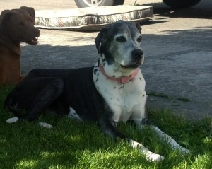 Adopt Holly on Great dane dogs, Great dane, Boxer mix