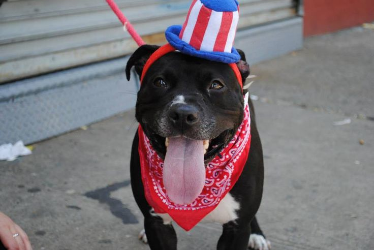 SUPER URGENT Brooklyn Center LEIGHLA A0954338 FEMALE, BLACK / WHITE, PIT BULL MIX, 2 yrs, 1 mo How long does a girl have to wait to have some fun? Leighla has been in the BACC since late Dec of LAST year This happy, lively bundle of fun is sitting in a kennel day after day waiting for that ONE person to love. PLS share Leighla for a home of her own. https://www.facebook.com/photo.php?fbid=619903068022576=a.617941078218775.1073741869.152876678058553=1