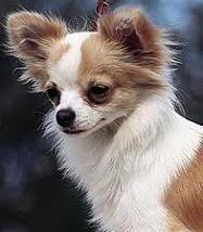 Image result for chihuahua de pelo largo