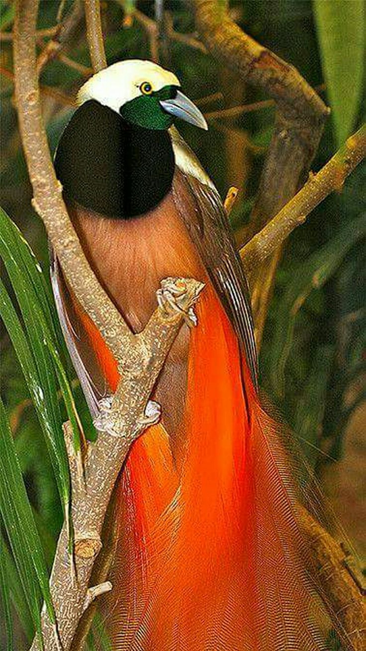 Raggiania Bird-of-Paradise is the national bird of Papua New Guinea.