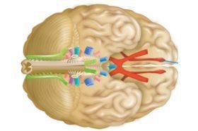 Nervios craneales y espinales | Estructura y función de los seres vivos | Icarito