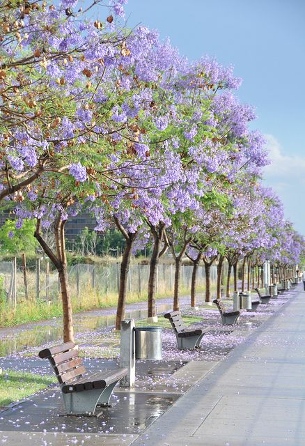 Jacarandas in Puerto Madero - Spring in Buenos Aires, Argentina
