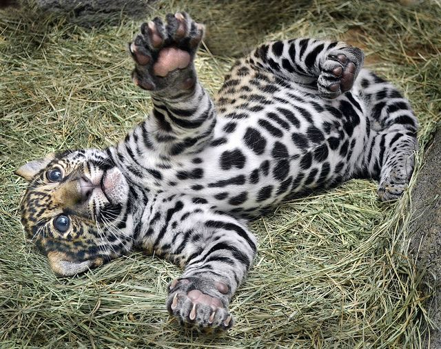 Hugs?  Maderas, a Jaguar cub, takes a roll in the hay at the San Diego Zoo.