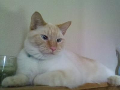 This looks identical to my Flame Point Siamese cat Adora. Right down to the slightly crossed eyes. We miss you, Kitten!