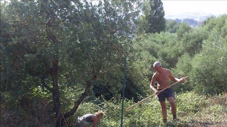 olijfboomgaard Vista sull' oliveto