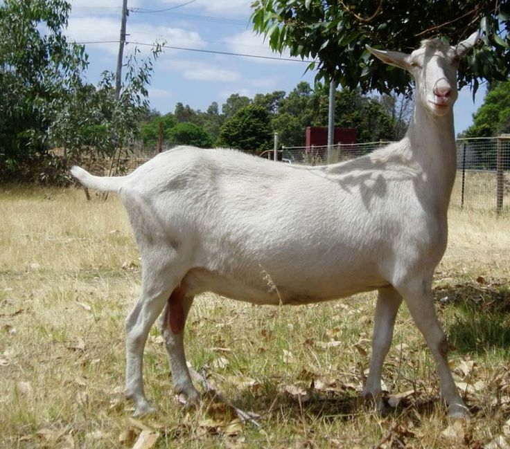 Highly milk productive goats are known as dairy goat breeds some goat breeds produce milk