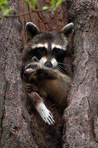 Mom and baby  Raccoon